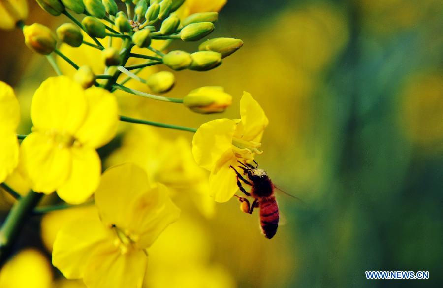A bee gathers nectar from a cole flower in Taiping Township of Chenzhou City