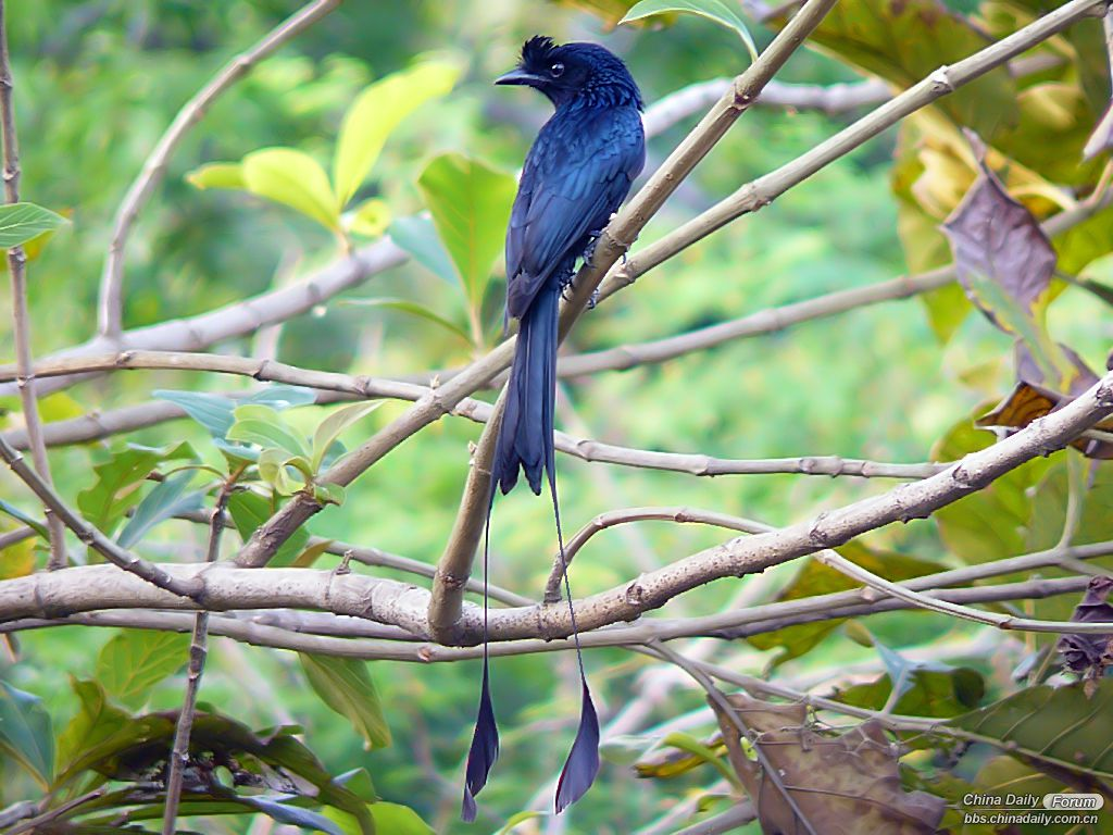 Greater_Racket-Tailed_Drongo.jpg