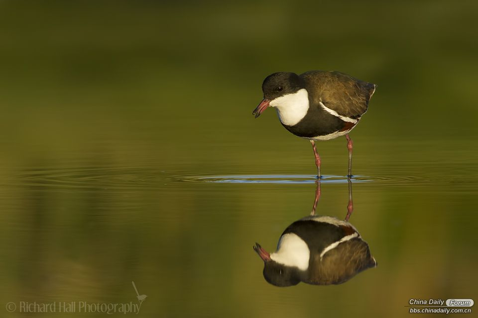 Red-kneed_Dotterel_WEB_960px.jpg