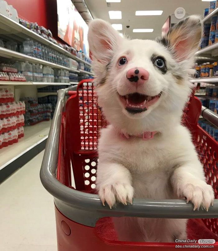 happy-dog-shopping-target-zira-the-corgi-virgoprincxss-1-1.jpg