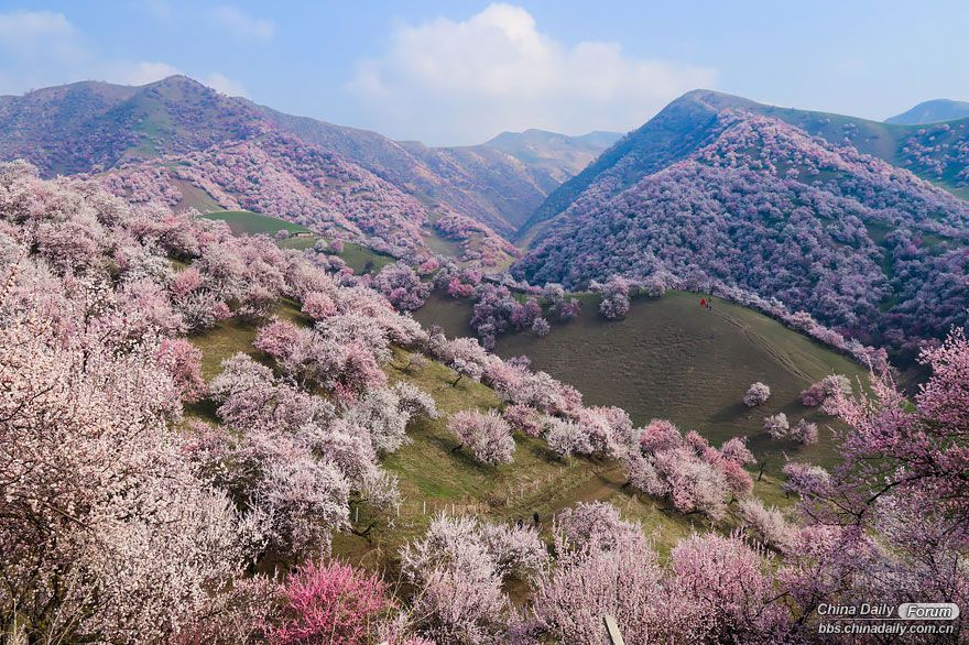 blooming-apricot-valley-yili-china-1.jpg