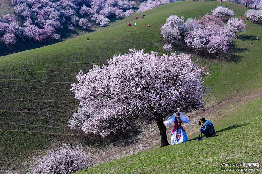 blooming-apricot-valley-yili-china-3.jpg