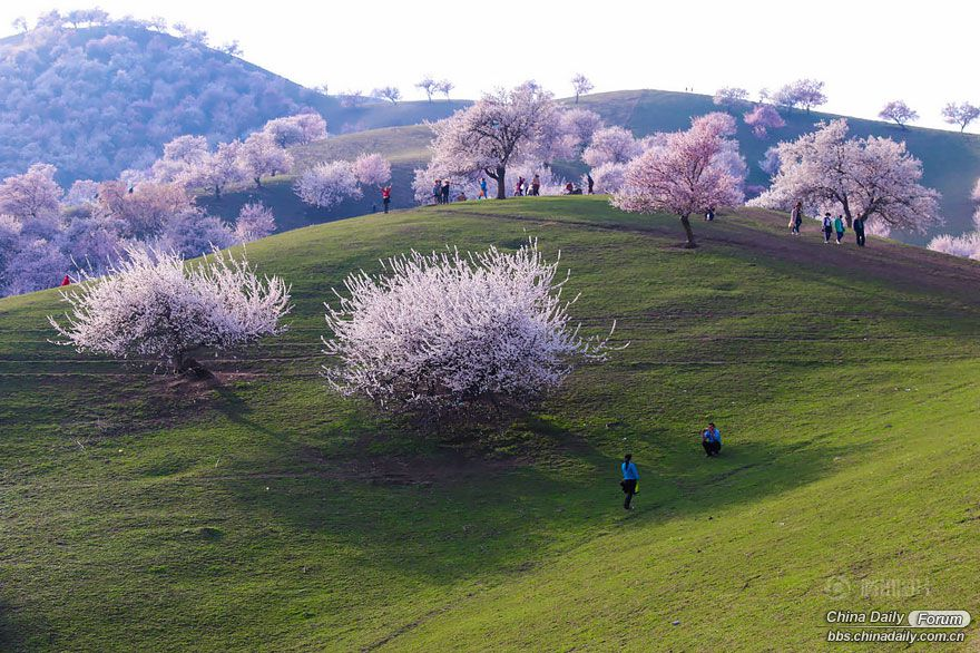 blooming-apricot-valley-yili-china-4.jpg