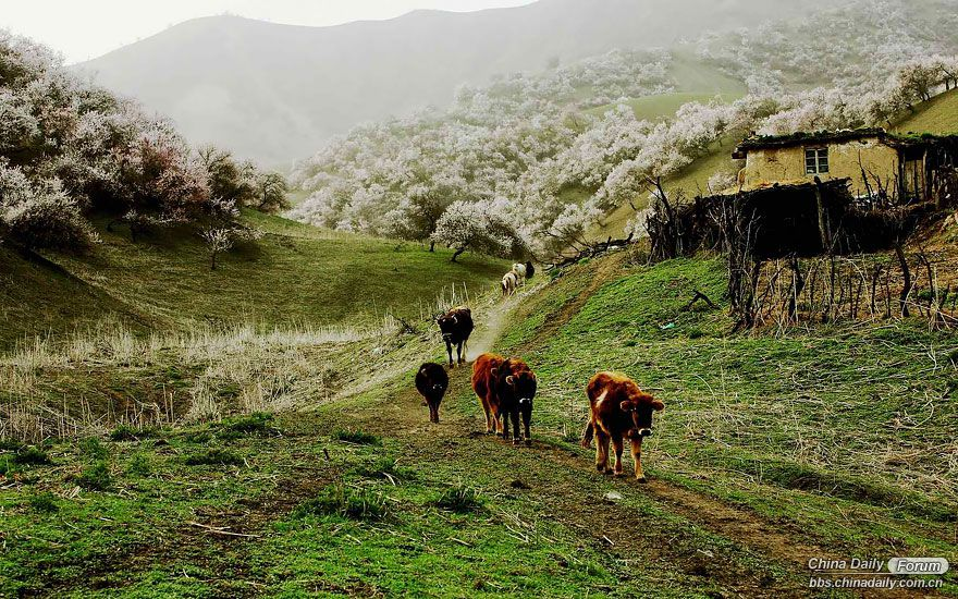 blooming-apricot-valley-yili-china-8.jpg