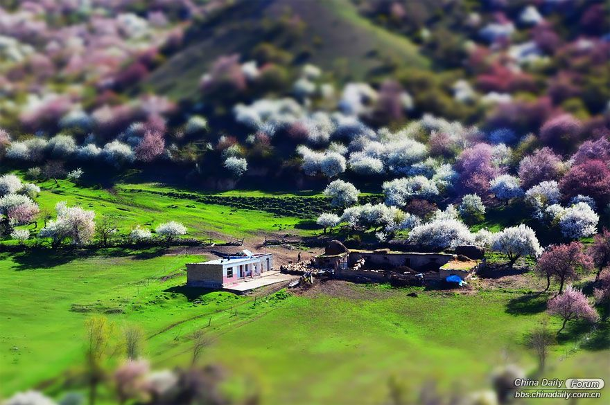 blooming-apricot-valley-yili-china-19.jpg
