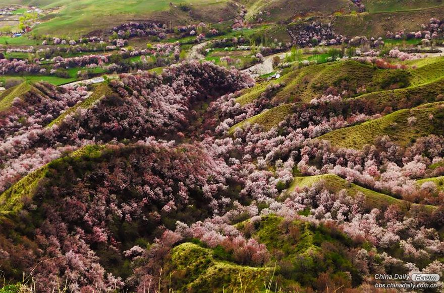 blooming-apricot-valley-yili-china-21.jpg