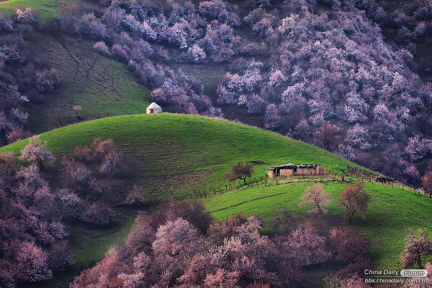 blooming-apricot-valley-yili-china-24.jpg