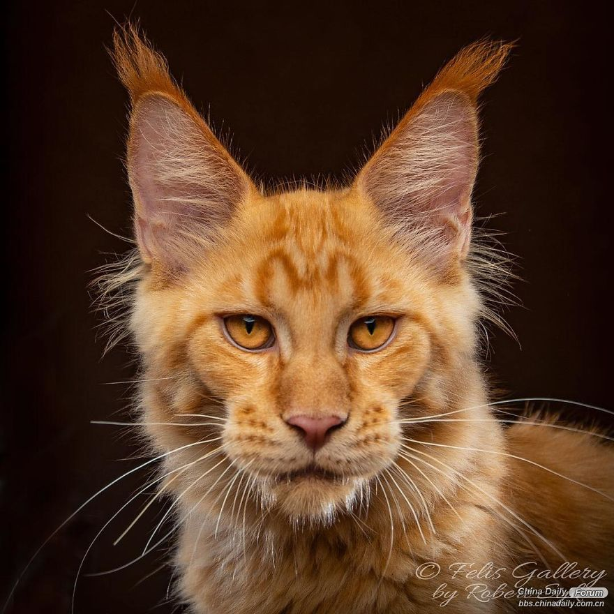 maine-coon-cat-photography-felis-gallery-robert-sijka-10-5bfd4dba06f1f__880.jpg