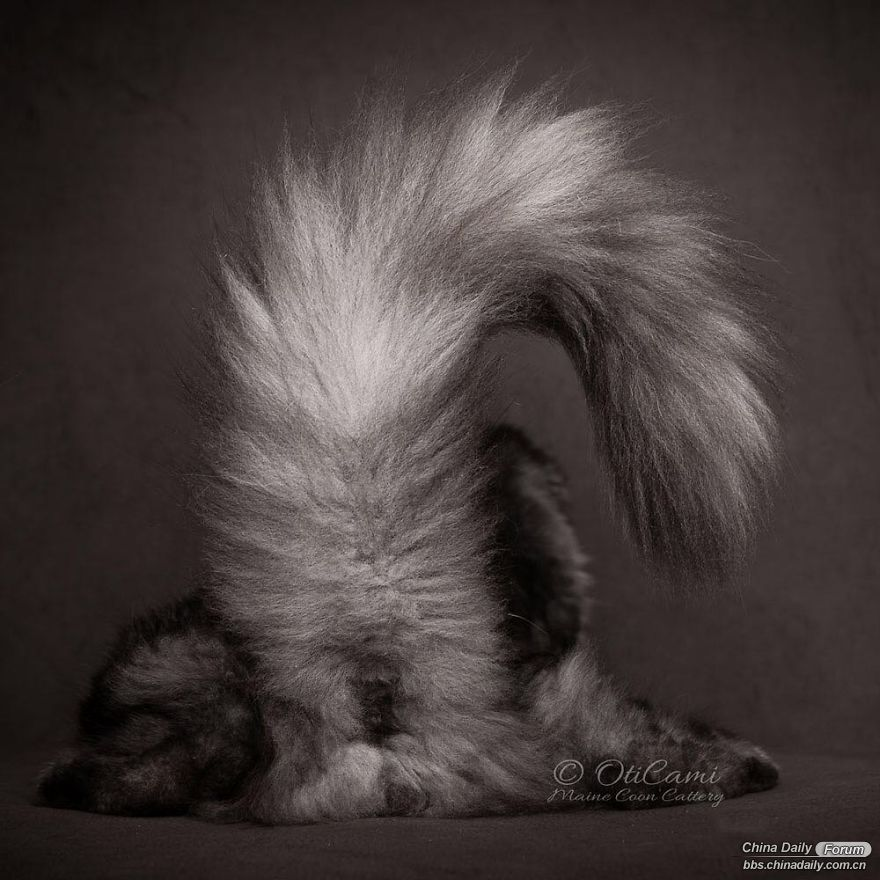 maine-coon-cat-photography-felis-gallery-robert-sijka-57-5bfd4e18b89b5__880.jpg
