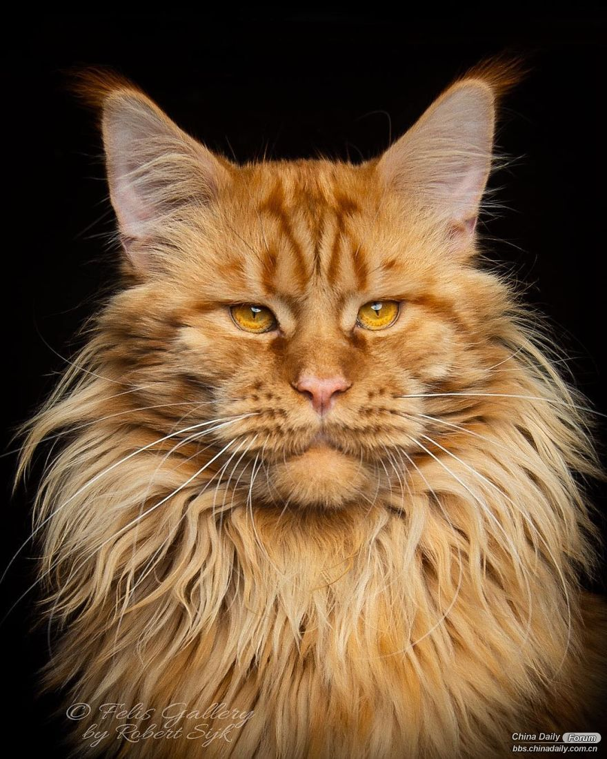 maine-coon-cat-photography-felis-gallery-robert-sijka-29-5bfd4de012079__880.jpg