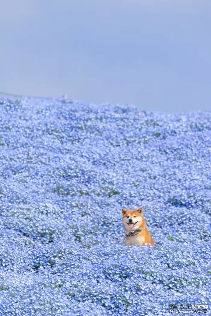 shiba-inu-dog-flower-fields-photography-masayo-ishizuki-japan-5cdbf56f3fa54__700.jpg