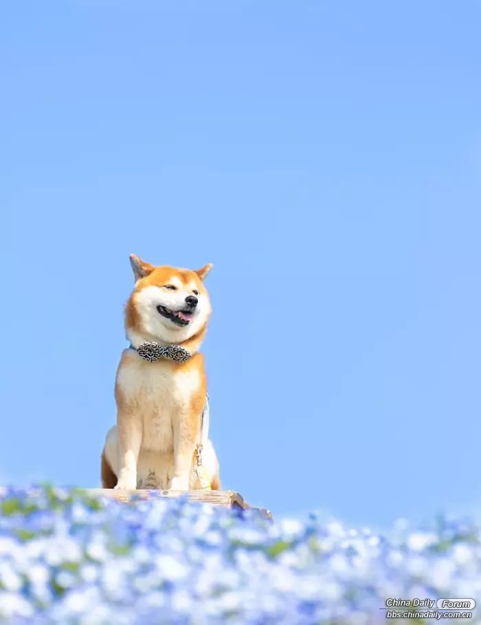 shiba-inu-dog-flower-fields-photography-masayo-ishizuki-japan-5cdbf58d5bbc3__700.jpg