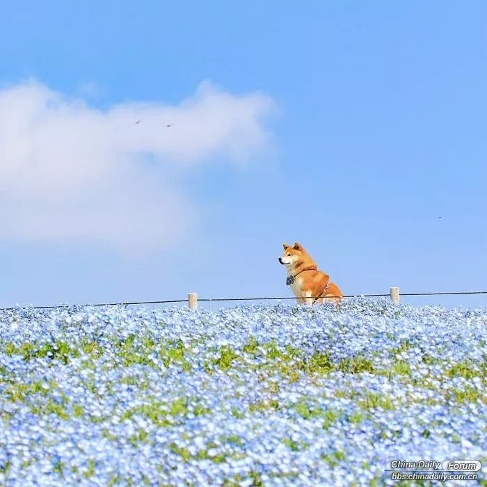 shiba-inu-dog-flower-fields-photography-masayo-ishizuki-japan-7-5cdbf34e50208__7.jpg